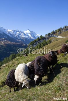 #Herd Of #Sheep Infront Of #Grossglockner #Highest #Mountain In #Austria 3.798m @fotolia #fotolia #nature #landscape #animals #view #panorama #season #travel #vacation #holidays #outdoor #carinthia #bluesky #wonderful #beautfiul #stock #photo #portfolio #download #hires #royaltyfree