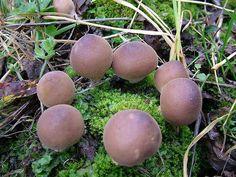 fairy circle Wild Mushrooms, Stuffed Mushrooms, Types Of Fungi, Mushroom Pictures, Forest Flowers, Slime Mould, Mushroom Fungi, Unusual Plants, Wood Tree