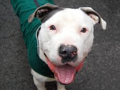 TO BE DESTROYED- 04/06/15 Manhattan Center-P My name is DADDY. My Animal ID # is A1031202. I am a male gray and white am pit bull ter mix. The shelter thinks I am about 1 YEAR I came in the shelter as a OWNER SUR on 03/24/2015 from NY 10452, owner surrender reason stated was TOO STRONG.