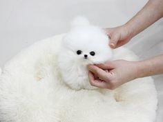 Photograph of Tiny Pomeranian puppies ready in Arkansas - Interzonga Web Ads