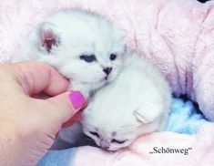 Healthy and joyfull kittens for adoption. Cats And Kittens, Cute Cats, Adoption, Healthy, Shop, Animals, Pretty Cats, Foster Care Adoption, Animales