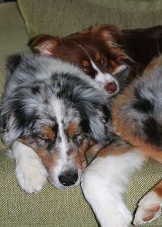 Aussies American Shepherd, Aussie Shepherd, Australian Shepherd Puppies, Aussie Dogs, Australian Shepherds, Cute Puppies, Cute Dogs, Dogs And Puppies, Doggies