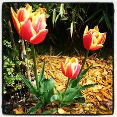 Tulpen beim Genusshotel Almrausch - genießen Sie die Blumenpracht auf der Sonnenterrasse. www.almrausch.co.at Plants, Tulips, Seasons Of The Year, Plant, Planets