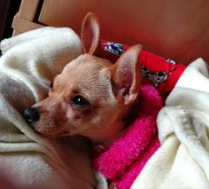 I love you my chihuahua Bainilla.its my best friend.;)