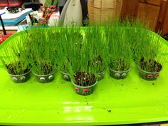 """Hairy friends"" plants lesson.  Plant rye grass seeds in clear cups (so the students can see the roots) & glue google eyes. They love to give their ""hairy friends"" hair cuts, too!"