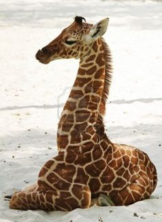 What a cute baby giraffe | favorite animal? Description from pinterest.com. I searched for this on bing.com/images