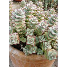 suculentas jardincelas aeonium arboreum pts pinterest suculentas cactus y crasas. Black Bedroom Furniture Sets. Home Design Ideas