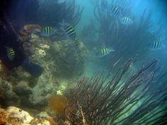 Key Largo Florida fish,coral reef fish,small fish,striped fish,