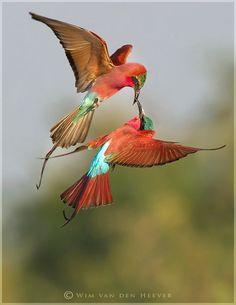 carmine bee-eaters (photo by wim van den heever)