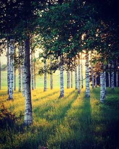 Birches Visit Sweden, Country Roads, Birches, Plants, Forests, Congratulations, Trees, Heart, Instagram