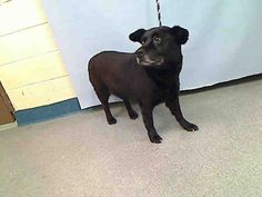 TO BE DESTROYED 07/23/15 SUPER URGENT MANHATTAN RAVA – A1044560 FEMALE, BLACK, LABRADOR RETR / GERM SHEPHERD, 8 yrs STRAY – STRAY WAIT, NO HOLD Reason STRAY Intake condition EXAM REQ Intake Date 07/18/2015, From NY 10473, DueOut Date 07/21/2015, http://nycdogs.urgentpodr.org/rava-a1044560/