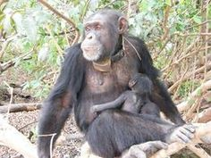 The 2008 release of 12 orphan chimpanzees into the wild using sophisticated GPS tracking technology has been deemed a success by the project team.     The release was the first of its kind to use GPS tracking collars to monitor the progress of the chimpanzees. The ARGOS system emits GPS points to satellites downloadable via the internet. It is also only the second time that rehabilitated chimpanzees have been released back into the wild in an area where other wild chimpanzees live.
