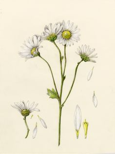 Daisy. From the collection of botanical illustrations of flowers by Wendy Hollender.