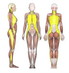 When fascia is tight and distorted it can torque, pull, jam, and compress the surrounding nerves, muscles, bones, joints, skin, and blood flow, causing misalignment, imbalances, pain and dysfunction. Studies show tension in one structure, such as the knee, can cause tension or issues in adjacent structures, such as the hip or ankle, because the lines of fascia run all throughout the body like sheets of Ace® Bandages (see page 37 of The Cellulite Myth).