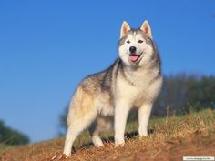 Alaskan Malamute...the dog I had growing up.  Such a great family dog!