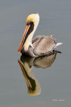 Brown Pelican Reflection Print By Debra Martz