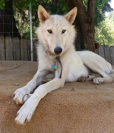 Nor-Cal Wolfdogs wolf hybrids for sale Wolf Hybrid Puppies, Puppies For Sale, Dogs And Puppies, Wolf Dog Puppy, Husky, California, Animals, Animales, Animaux