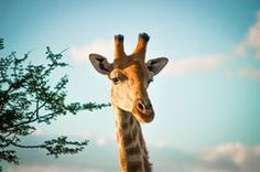 Giraffe Stock Image Photo Stock Images, Page 3, Commercial Design, Royalty Free Photos, Giraffe, World, Pictures, Photography, Animals