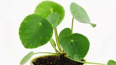 Alles über Glückstaler Pflege wie Standort, Substrat, Vermehrung, Schneiden, Überwintern. Ist der Chinesische Geldbaum giftig?