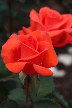 Beautiful Rose Flowers, Love Rose, My Flower, Beautiful Gardens, Beautiful Flowers, Orange Roses, Red Roses, Ronsard Rose, Coming Up Roses