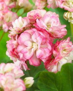 Ruusunnuppu-pelargoni Apple Blossom