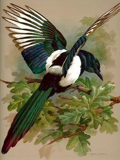 Birds ©: [A Magpie (by Basil Ede)]. Magpie Tattoo, Tattoo Bird, Love Birds, Beautiful Birds, Pie Bavarde, Art Textile, Bird Pictures, Bird Illustration, Tatoo