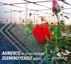 Aplique a su cultivo el sistema de riego 💧 eficaz y con el que ahorrarás agua💧 por eso elige un sistema basado en goteros 💧 👇 👇 👇 [+Info ➡ 955 99 81 81/ info@aquatubo.com] Plants, Water Treatment, Irrigation, Growing Up, Plant, Planets