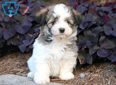 This Havanese puppy is a real sweetie pie who will quickly become your new best friend! He is a social butterfly and will do well in any household. Baby Puppies For Sale, Havanese Puppies For Sale, Havanese Dogs, Cute Puppies, Dogs And Puppies, Types Of Animals, Cute Animals, Dog Pictures, Cute Pictures