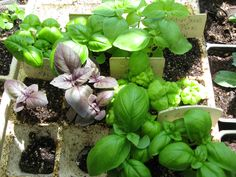 New Basil and more from the spring garden!