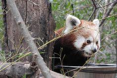 Red panda, animal, wild animal, tree trunk wallpaper
