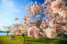 Sakura サクラ 桜