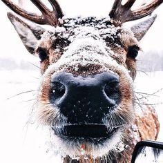 Reindeer, cute, Christmas, Winter
