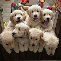 Things we respect about the Trustworthy Golden Retriever Dogs Cute Dogs And Puppies, Baby Dogs, I Love Dogs, Pet Dogs, Dog Cat, Doggies, Adorable Puppies, Retriever Puppy, Dogs Golden Retriever