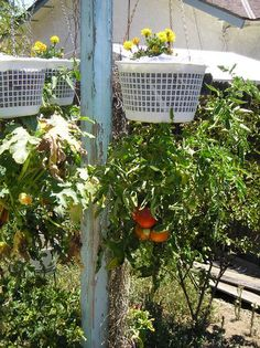 Growing a companion planting of tomatoes and marigolds upside-down in plastic baskets.