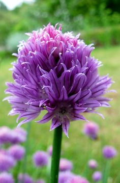 Visit the post for more. Garlic Chives, Greenery, Florals, Herbs, Gardening, Nature, Plants, Photography, Life