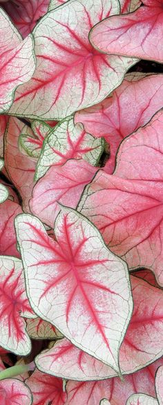 Caladium is a genus of flowering plants in the family Araceae. They are often known by the common name elephant ear , Heart of Jesus, and Angel Wings. There are over 1000 named cultivars of Caladium bicolor from the original South American plant. Beautiful Gardens, Beautiful Flowers, Cactus Planta, Pink Plant, Longwood Gardens, Shade Plants, Outdoor Plants, Tropical Plants, Shade Garden