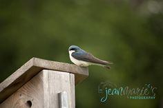 Jean Marie's Photography, Wildlife, Tree Swallow, Bird, Desoto National Wildlife Refuge