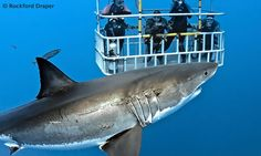 Scuba Diving with Great White Sharks in South Africa