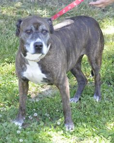 """SUPER URGENT!!! Please rescue this sweet girl """"MELANIE"""" (sweetheart) at LORAIN COUNTY DOG KENNEL ELYRIA, OHIO. https://www.petfinder.com/petdetail/29492977/"""
