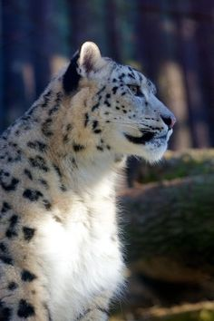 Un magnifique léopard des neiges!