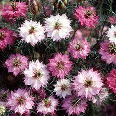 Nigella damascena 'Mulberry Rose' / Jungfer im Grünen