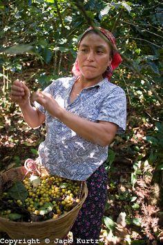 Guatamalan migrant worker harvesting coffee on  a plantation near Tapachula, Chiapas, Mexico. Photo: Jack Kurtz