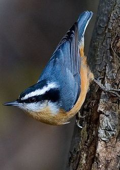Red-breasted Nuthatch (Sitta canadensis) - breeds in coniferous forests across Canada, Alaska and the north-eastern and western United States. Small Birds, Little Birds, Colorful Birds, Pretty Birds, Love Birds, Beautiful Birds, Bird Sightings, Photo Animaliere, Backyard Birds