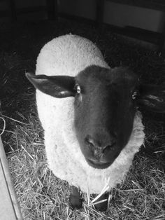 "Sandra Kerry @Kerry_SandyD  ""Our June 💕 #sheepoftheweek"""