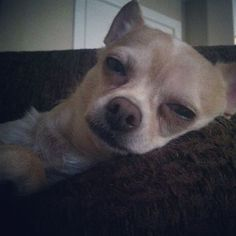 Sunday Sleepin Chihuahua