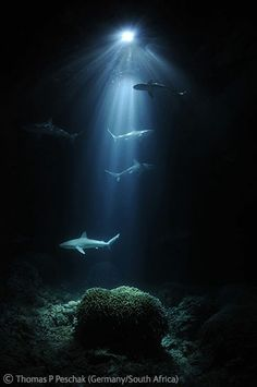 """""""Night sharks"""" T. P. Peschak.  Light shining into the depths of the lagoon of Bassas da India, a remote atoll in the Mozambique Channel, reveals a gathering of juvenile Galapagos sharks."""