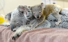A six-month-old koala touched the hearts of Australia Zoo vet staff as he clung to mum Lizzy throughout her treatment for a collapsed lung. The pair miraculously survived being hit by a car on the Warrego Highway at Coominya, west of Brisbane. Mother and son did not break any bones and Phantom, who weighs only 420 grams, was almost untouched.