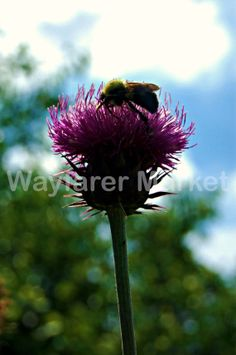 Thistle Bee by Mandy Solomon 12x16 Print by WayfarerMarket on Etsy, $40.00