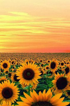 Sunset in Sun Flower Field, Maryland - 15 Places to Visit in Maryland