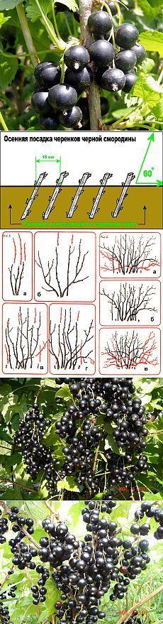 Смородина черная: сорта, выращивание и уход. Черная смородина — кустарник рода смородин из семейства крыжовниковых. Корневая система смородины образуется из сильно разветвленных мочковатых корней, которые залегают на 20-40 см в глубину.  Куст состоит из многочисленных разновозрастных веток, расположенных на разных уровнях, благодаря чему куст плодоносит 12-15 лет. Максимальный урожай обычно приходится на шестой год.